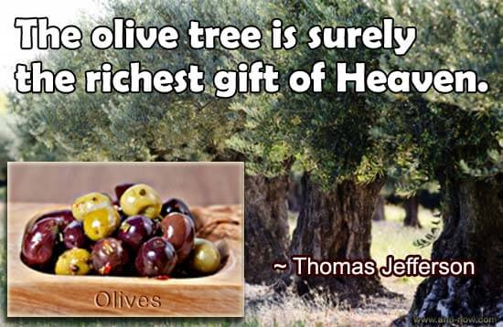 Photo of Olive tress and olives in the inset