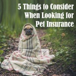 A pug dog wrapped in blanket symbolizing need of pet insurance